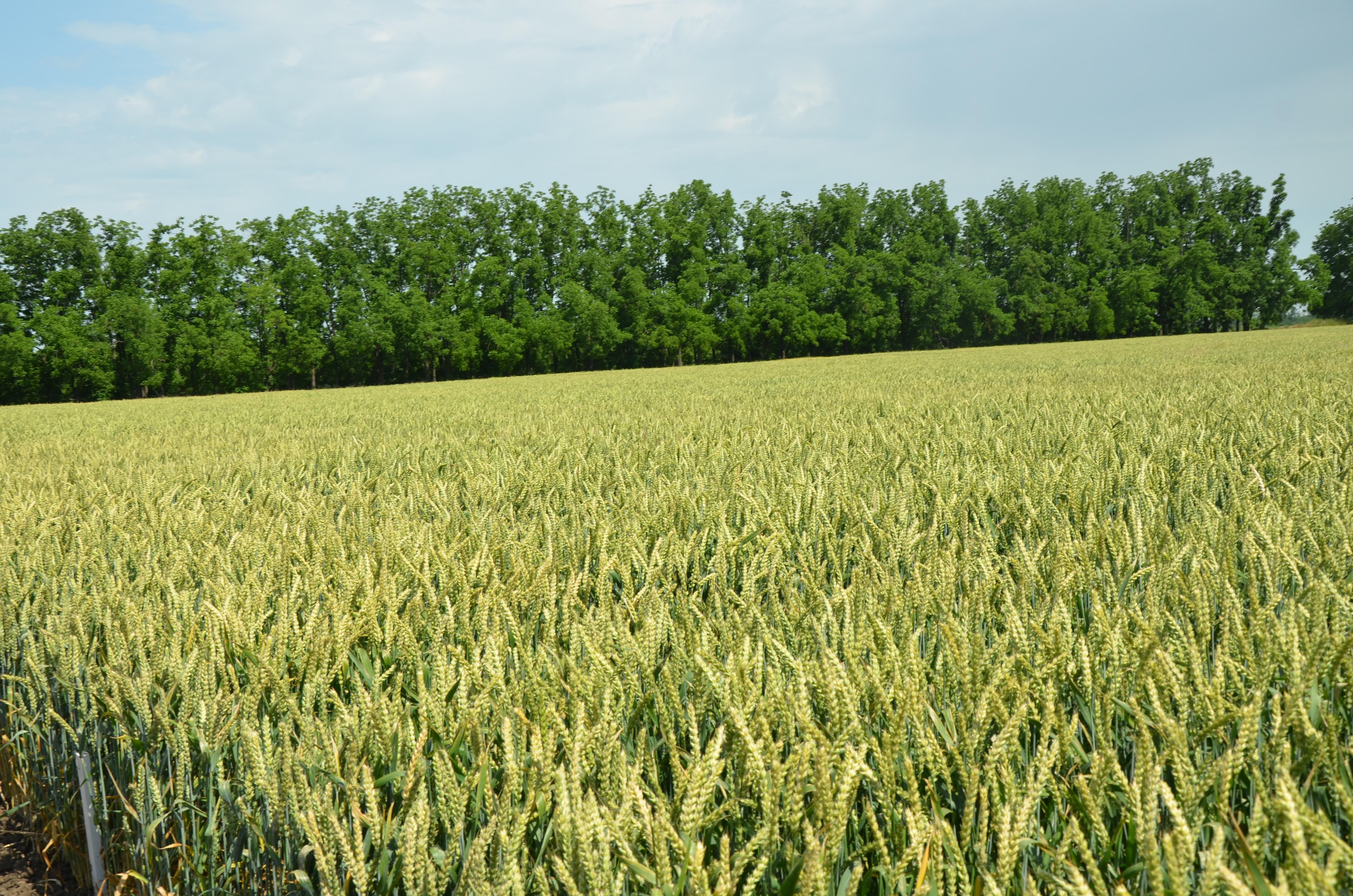 Интенсивное выращивание озимой пшеницы 90