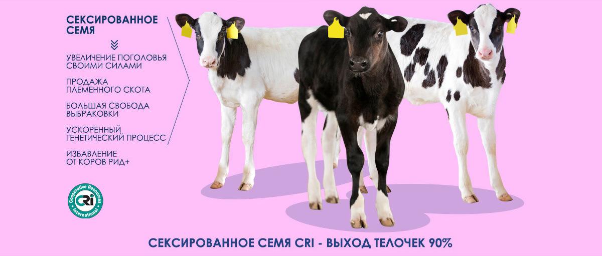 Обычного и сексированного семени быков производителей